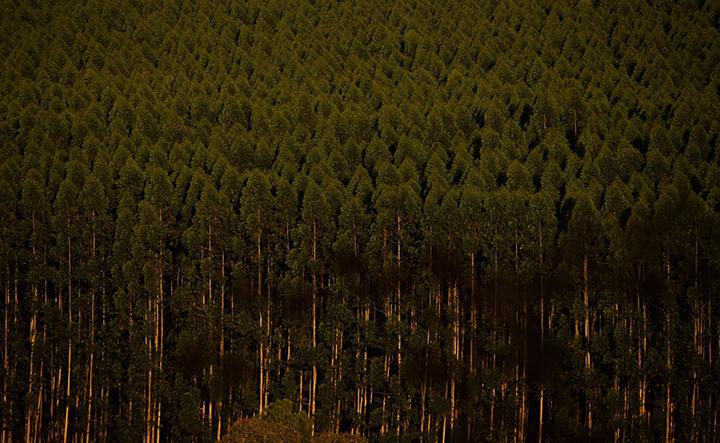 Plantio de 7,4 milhoes de arvores ajudara compensar gases estufa. Foto CNA-Trilux, Wanderson Araujo