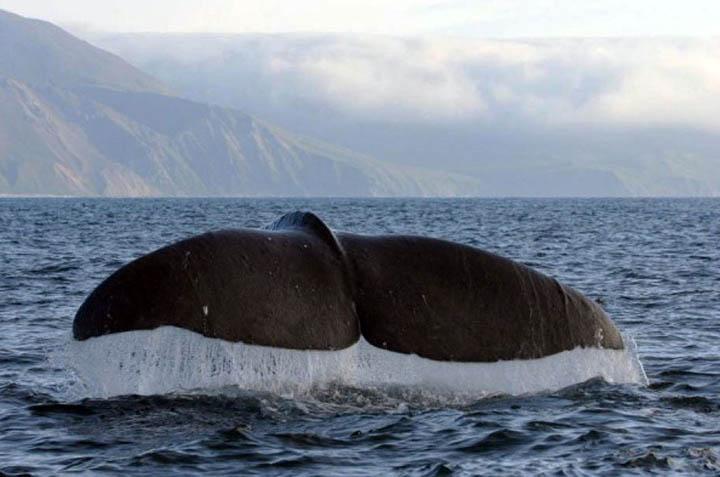 Baleia jubarte aparece morta em Itapoa. Esses animais sao atracao de turismo em Santa Catarina.