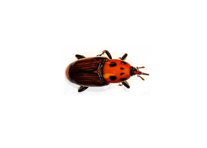 Besouro vermelho pode entrar no Brasil e dizimar coqueiros e dendezeiros. Foto Paul Rugman Jones