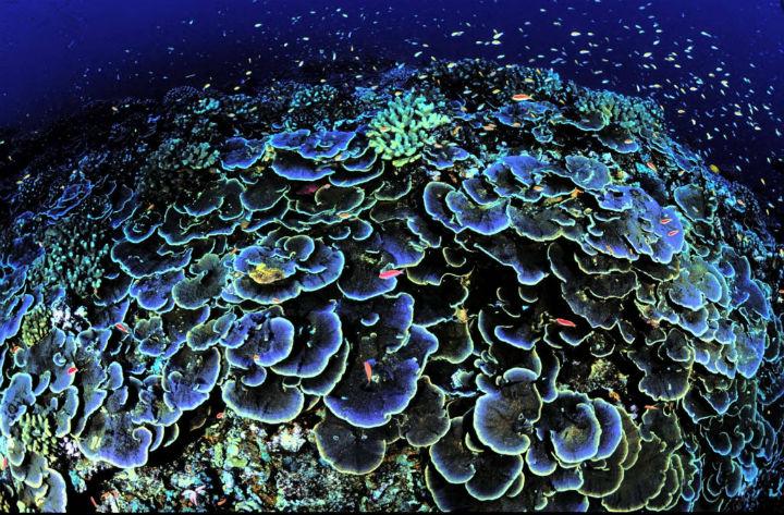 Beleza dos mares, corais estao ameacados. CORAIS na Ilha de Jervis sul do Pacífico. FOTO Jim MAragos