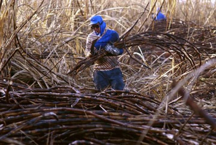 Palha era abandonada apos extracao da cana. Agora servira para gerar eletricidade junto com bagaco