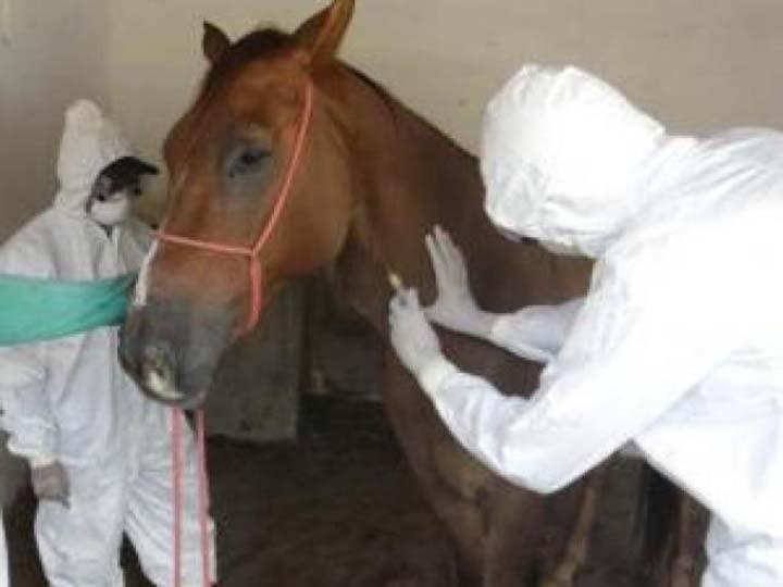 Mormo é uma doença que dá em cavalos e é contagiosa nos humanos. Conheça e previna.