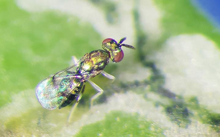 EMBRAPA mostra o primeiro agente de controle biológico da mosca-mineradora. Foto Tiago Lima.