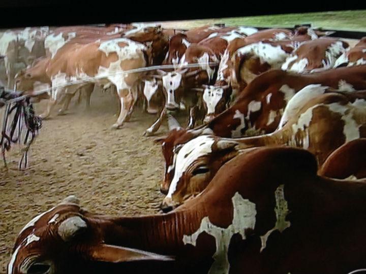 Cuidados com o gado para evitar contagio, tem instrucoes dos Ministerios da Saude e Agricultura