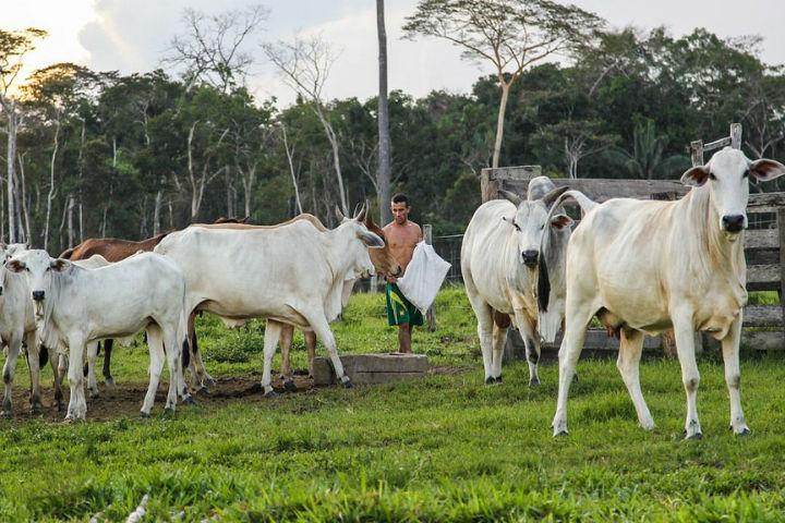 Criar gado na Amazonia Legal agora so com o rigor da lei e preservacao dos recursos naturais