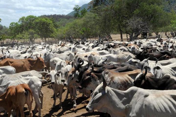 Fazendeiros lutam contra doenca causada por mosca sobre os rebanhos de bovinos e ovinos.