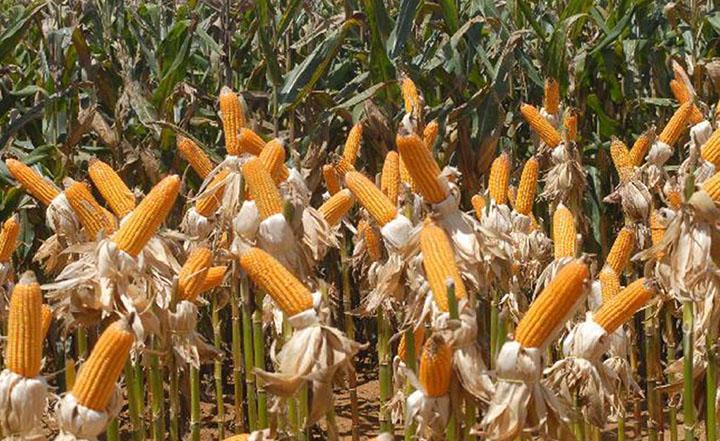 Milho foi principal item das exportacoes do agronegocio brasileiro. Foto Agencia Brasil, Elza Fiúza