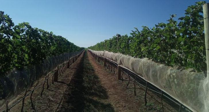 Com o desenvolvimento de pesquisas e tecnologia, Ribeirao Preto ja  produz de vinhos especiais