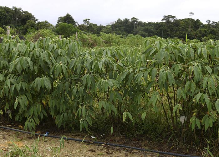 Pesquisas sobre planta Piper aduncum, da Amazônia, contra o mosquito da dengue. FOTO Felipe Rosa