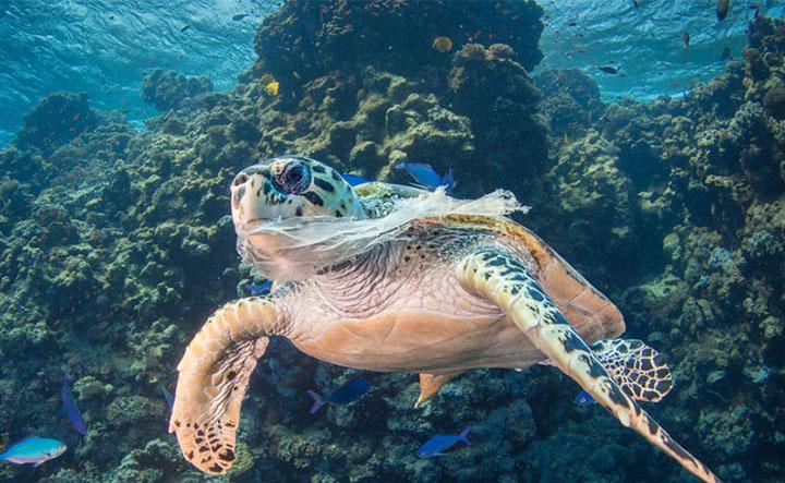 Plasticos poluem mares do mundo e matam animais. Tartaruga envolta em sacola. Foto ONU Saeed Rachid