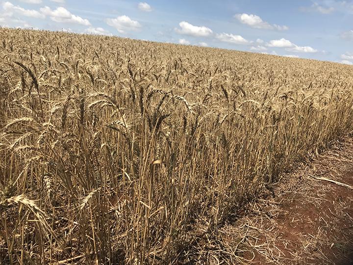 Trigo de Minas Gerais ganha preferencia da industria. Produtor vai plantar mais na proxima safra.